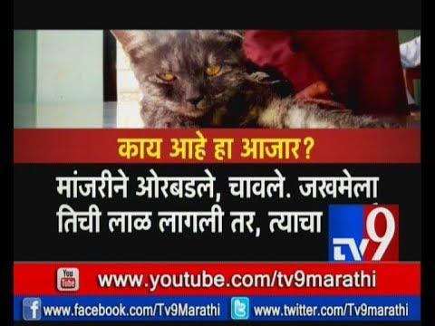 मांजर पाळताय, खबरदारी घ्या ! मांजरामुळे तुम्हाला होऊ शकतो 'हा' आजार