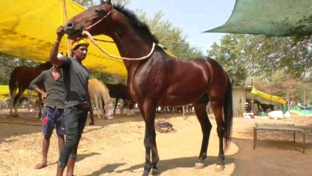 देखणं शरीर आणि मजबूत बांधा, अकलूजच्या बाजारात 50 लाखांचा घोडा