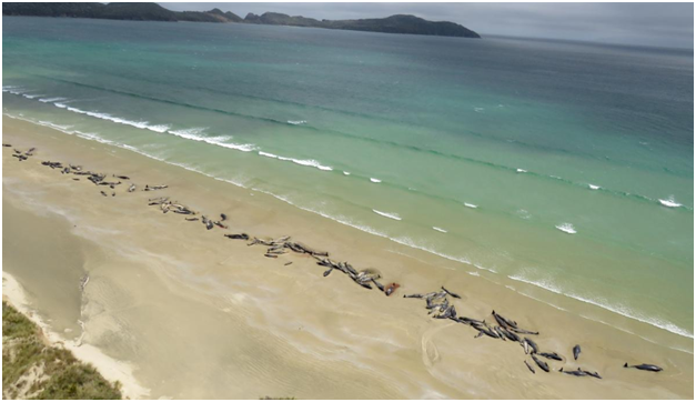 VIDEO : न्यूझीलंडमध्ये 145 व्हेल माशांचा मृत्यू