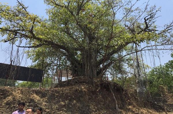 नागपूरकरांनो मला वाचवा! दीडशे वर्ष जुन्या झाडाची आर्त हाक