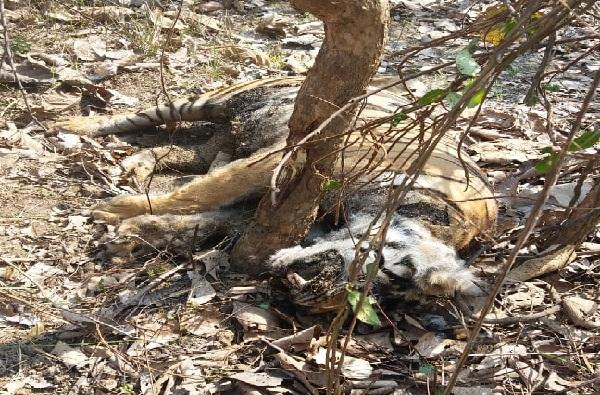 सापळा लावून वाघीण मारली, ताडोबात वाघिणीच्या शिकारीने खळबळ