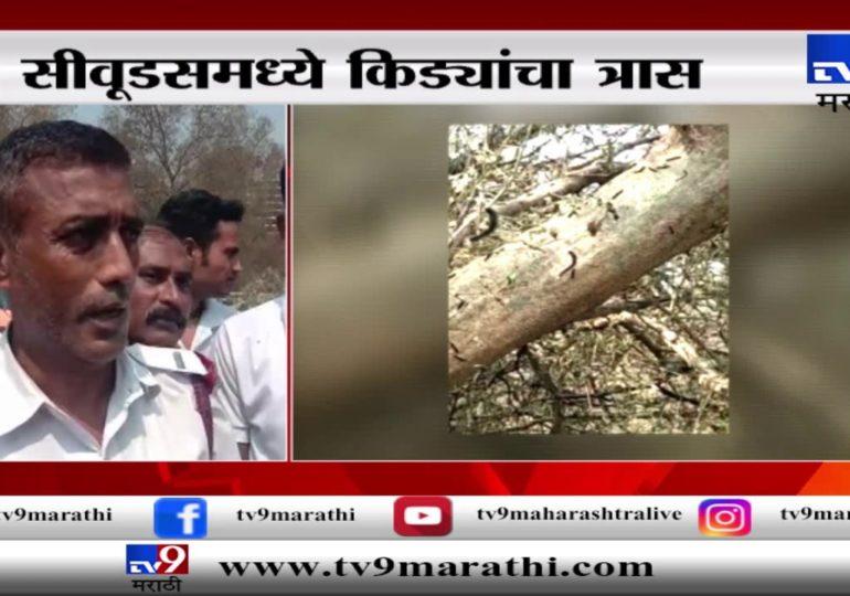 नवी मुंबई : सीवूड परिसरात किडेच किडे, अंगाला खाज सुटत असल्याने नागरिक त्रस्त