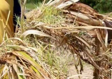 भात झडले, सोयाबीन आडवे, कापसाची बोंड सडली, शेतकऱ्यांचे आतोनात नुकसान