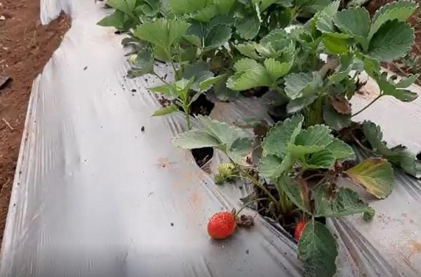 पालघरमध्ये रणवीर सिंगने चिकूच्या बागेत पिकवली स्ट्रॉबेरी