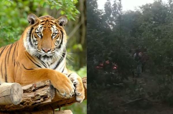 चंद्रपूरमध्ये डोकं आणि पंजे नसलेला पट्टेदार वाघाचा मृतदेह, वनविभागात खळबळ