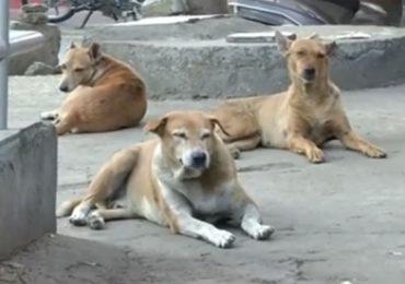 भटक्या कुत्र्यांमुळे मुंबईकर हैराण, 24 वॉर्डात 'डॉग व्हॅन'ची गस्त वाढवणार