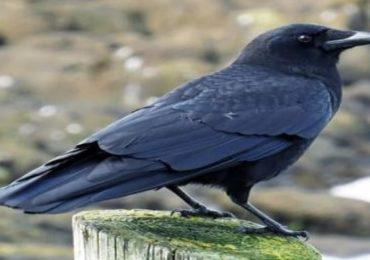 Lockdown : लॉकडाऊन पक्ष्यांच्या जीवावर, अन्न पाण्यावाचून 25 ते 30 कावळ्यांचा मृत्यू