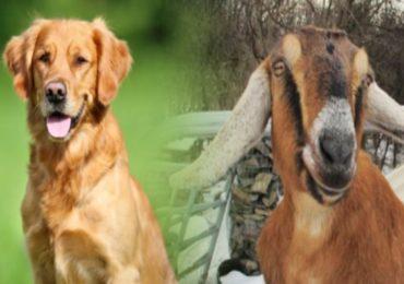बकरी आणि कुत्रा महापौरपदाच्या निवडणूक रिंगणात