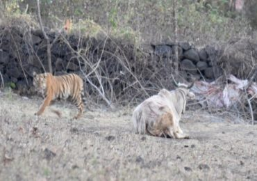 PHOTO : यवतमाळमध्ये वाघिणीचा चार बछड्यांसह गायीवर हल्ला