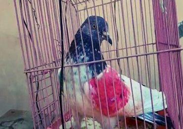 शरीरावर लाल निशाणी, पायात कोडिंग रिंग, भारत-पाक सीमेवर संशयित स्पाय कबूतर