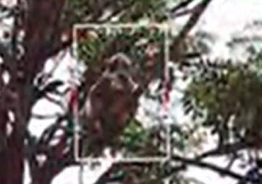 माकडाने कोरोना रुग्णाचे नमुने पळवले, तंत्रज्ञावर हल्ला करत उच्छाद