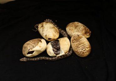 तळोजा एमआयडीसीत अजगरासह 10 अंडी सापडली, सर्पमित्राकडून कृत्रिम उब देत पिलांना जीवदान