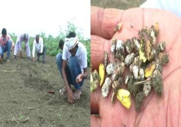 Wardha Farmers | पेरलं ते उगवलंच नाही! वर्ध्यात बोगस बियाणाने शेकडो एकरवरील सोयाबीन पेरणी बाद