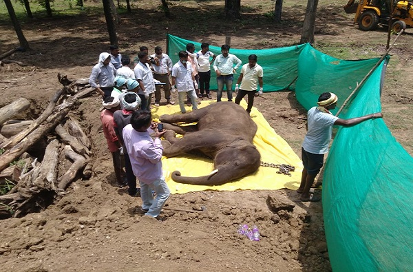 गडचिरोलीत हत्ती गाळात रुतला, तडफडून थकला, 20 दिवसांनी उपचारादरम्यान मृत्यू
