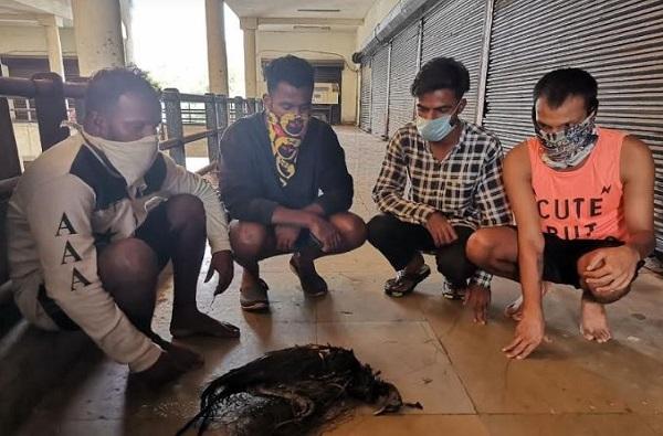 उरण जंगलात शिकाऱ्यांचा हैदोस, मृतावस्थेत लांडोर सापडल्या, 4 शिकारी ताब्यात