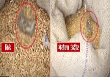 टीव्ही 9 चा दणका : रेशनच्या धान्यात मृत उंदीर सापडल्याचे प्रकरण, अन्न वितरण विभागाची तातडीची पावले