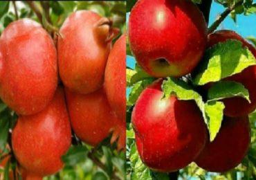 काश्मीरमधील सफरचंदाची नाशिकमध्ये लागवड, डाळींबासाठी प्रसिद्ध असलेल्या ठिकाणी सफरचंदाची बाग
