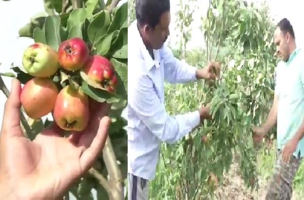 शिरुरमध्ये काश्मीर! ना वेगळे खत, ना मशागत; प्रयोगशील शेतकरी भावंडांकडून सफरचंदाची लागवड