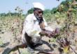 शेतकऱ्यांच्या पदरी निराशा, पावसामुळे कापूस वाळवून विकण्याची वेळ