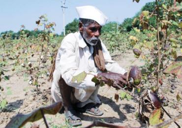 शेतकऱ्यांच्या पदरी निराशा, पावसामुळे कापूस वाळवत ठेवण्याची वेळ