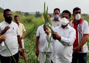 वसईच्या पूर्व पट्ट्यातील भातशेतीचे नुकसान, शेतकऱ्यांना हेक्टरी 50 हजार द्या: राजेश पाटील