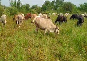 शेतकऱ्यानं सोयाबीनच्या पिकात सोडली जनावरं!, कापणीचा खर्चही निघणार नसल्यानं बळीराजा हतबल