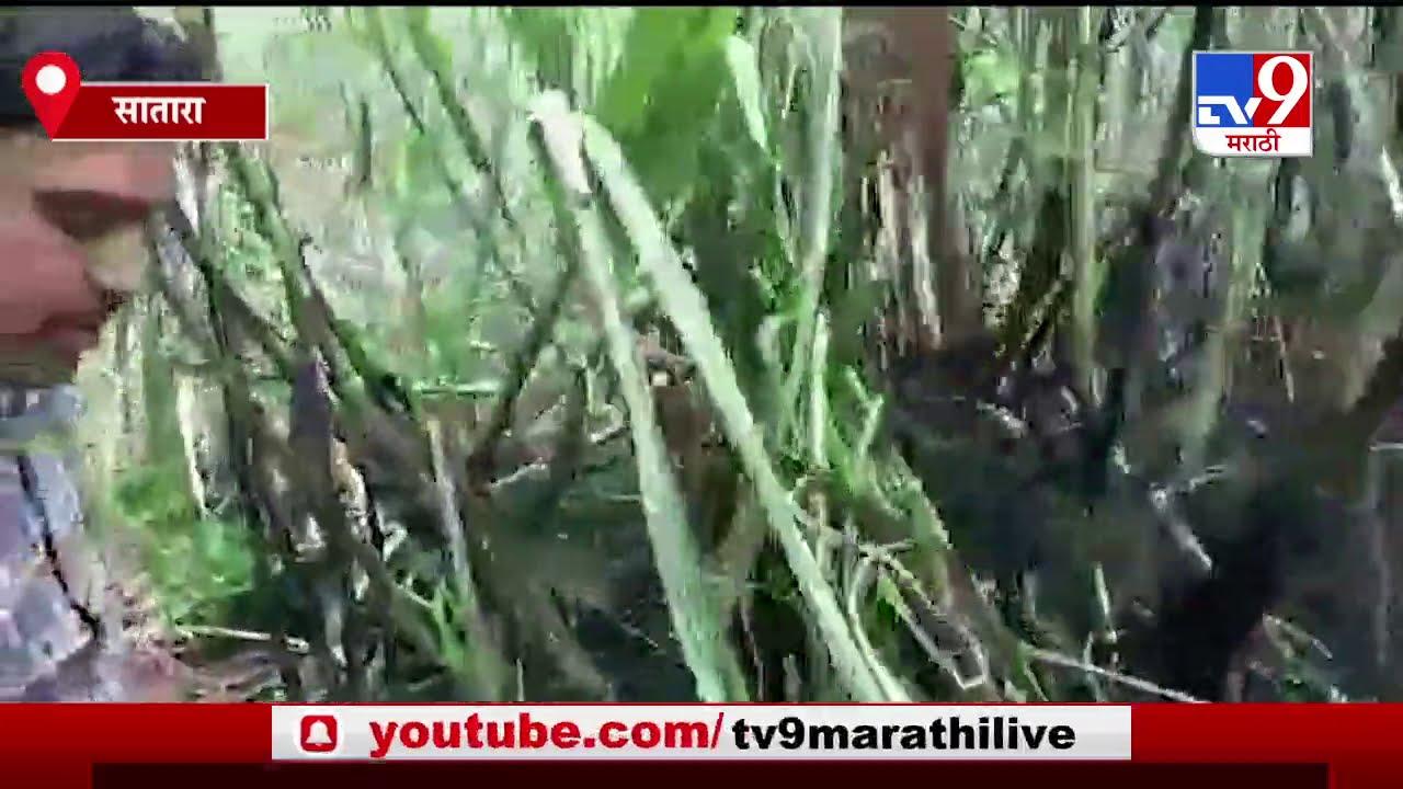Satara | साताऱ्यात शॉर्ट सर्किटमुळे 25 एकरातील ऊस जळून खाक