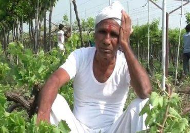 अतिवृष्टीमुळे कीड लागल्याने हवालदिल शेतकऱ्यांची द्राक्ष बागांवर कुऱ्हाड; लाखो रुपयांचे नुकसान