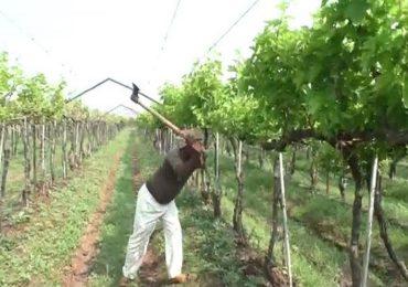 PHOTO   अतिवृष्टीमुळे होत्याचं नव्हतं झालं, हवालदिल शेतकऱ्याची द्राक्ष बागांवर कुऱ्हाड, लाखो रुपयांचं नुकसान
