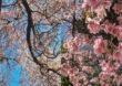 PHOTO | 'इंनक्रेडिबल इंडिया', शिलॉंगमध्ये 'चेरी ब्लॉसम'चा बहर, गुलाबी फुलांची पर्यटकांना भुरळ!