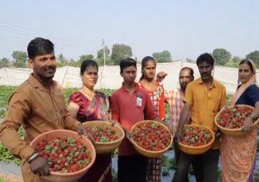महाबळेश्वरमधील स्ट्रॉबेरीची पुण्याच्या गावडेवाडीत लागवड, युवा शेतकऱ्याचा यशस्वी प्रयोग