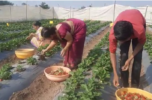 strawberry farming pune