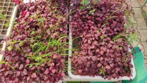 Soilless-farming