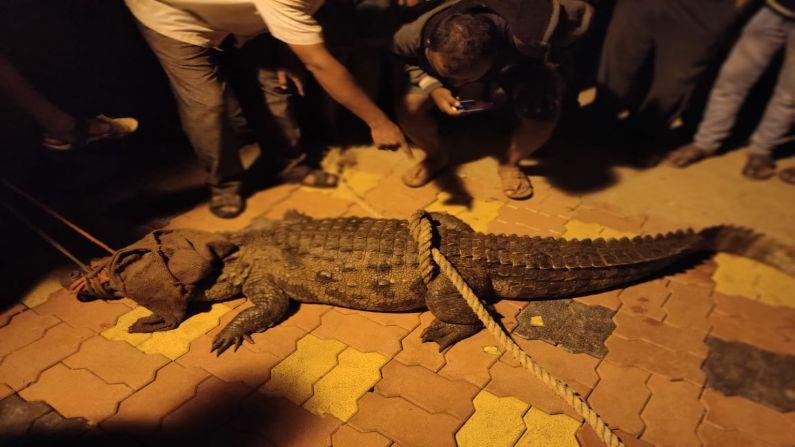 Sangli Villagers Catch Crocodile 3