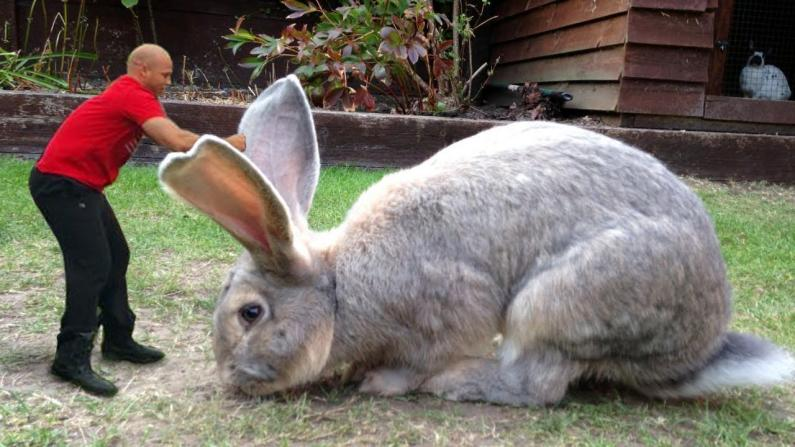 World's largest biggest rabbit, World's largest giant rabbit, rabbit darius, World's biggest rabbit stolen