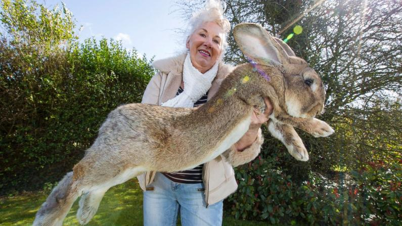 World's largest giant rabbit darius missing may be stolen from owners garden
